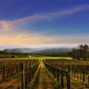 Wine field iPad Wallpaper