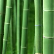 Bamboo Forrest iPad Wallpaper