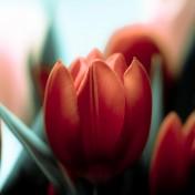 Red Tulip iPad Wallpaper