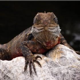 Lizard Death Stare iPad Wallpaper