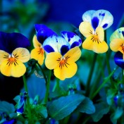 Pansies iPad Wallpaper